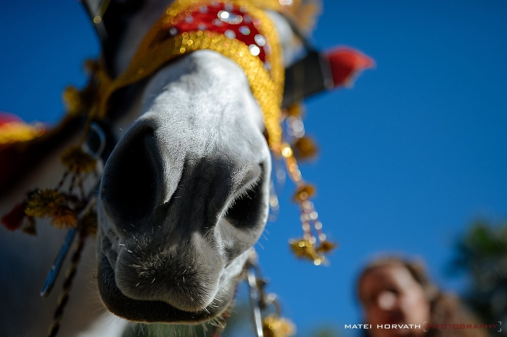 The Baraat- the indian groom's wedding procession on a horse